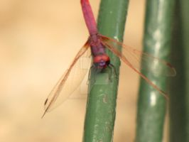 Violet Dropwing IV by Maltese-Naturalist