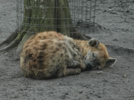 Sleeping Hyena by NicamShilova