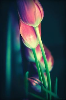 pink tulips by ailenn
