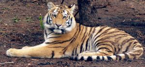 Tiger stock 2 by anbdstock