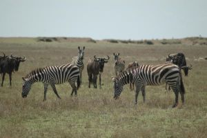 Zebras and Gnu 2 by CosmicStock
