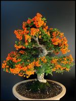 SeaBuckthorn Bonsai by CrLT