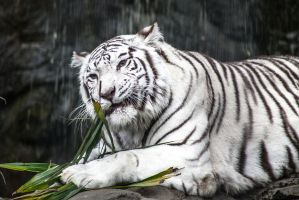 White Tiger II by Bartonbo