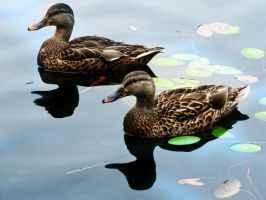 quacks and shadows by Ameliey