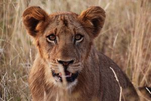 Lion in Kruger by psychostange