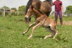 Young Chestnut Foal Stock 4 by Venari-Stock