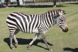 Zebra Stock 1 by MrsEvelyn