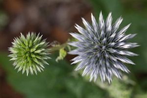 Thistle by ajhaysom