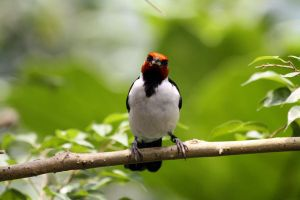 Red Capped Cardinal 4 by MegMarcinkus