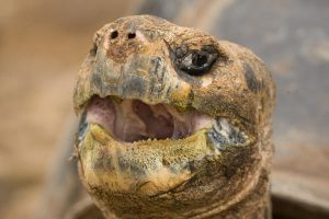 Turtle Mouth Open Galapagos 1 by photoboy1002001