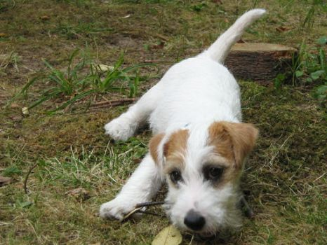 Jack Russell Terrier by MeganeART