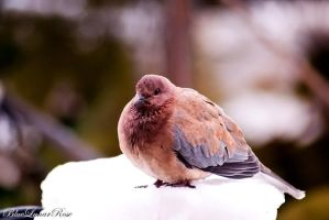 Mourning dove in snow by BlueLunarRose