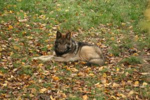 young wolf in autumn by Nashoba67