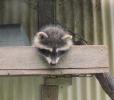 Last Look at Last Year's Raccoons 15a by Windthin
