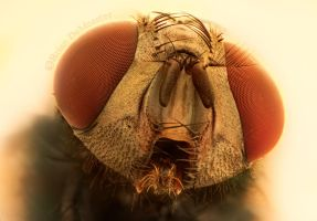 Blue Bottle Fly by Brian-D