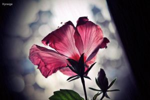 Hibiscus en Hiver - in Winter by hyneige