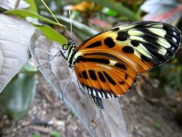 Orange and White Spotted Butterfly by CRUETON81