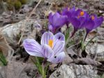 Striped Crocus (1) by Steve-C2