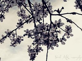 Spring Blossoms by HauntedVisions