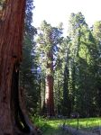 Sequoia by Dragonrose36