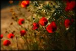 poppies and light 1 by veredgf
