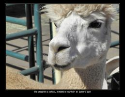 The alpaca-lips is coming - to nibble on your hair by Eolhin