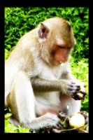 Monkey on the Cob by nw15062