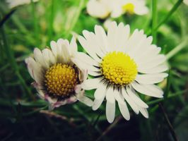 Double Daisy by ropa-to
