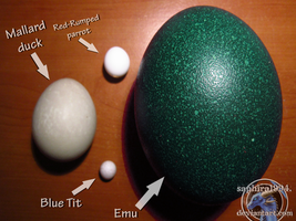 Egg SIZES by Sapphiresenthiss