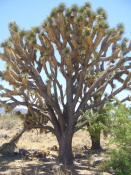 Old Growth Joshua Tree by maggiemayday