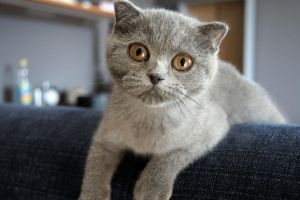 Scottish Fold Kitten by Vertor