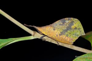 Leaf Mimic Grasshopper (Systella sp.) by melvynyeo