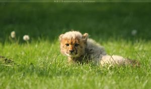 Baby Cheetah by Khalliysgraphy