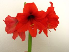 Amaryllis by Wonderdyke-Stock