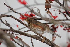 Lil Redwing by spartout
