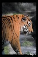Photo - Le Tigre by tigaer