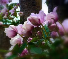 Clematis 4 by Lupsiberg