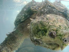 Alligator Snapping Turtle by laura-worldwide