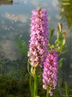 Northern orchid by ormr