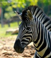 The striped horse by MorganeS-Photographe