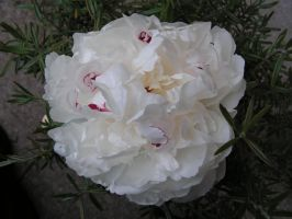 peony by stock1-2-3