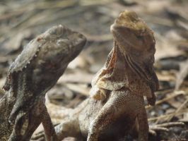 Frilled necked lizards by JolanthusTrel