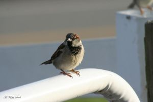 House or English Sparrow by BirdinByNoon