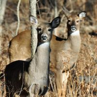 Two Whitetail deer by masscreation