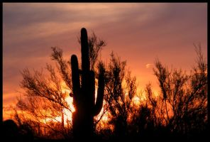 Flaming Saguaro Winter Sunset by RooCat