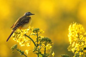 ...yellow wagtail... by Ulliart