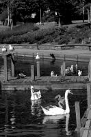 Swans, Ducks, Black Headed Gulls and Herring Gulls by lichtie