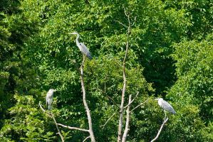 The Three Herons by duncan-blues