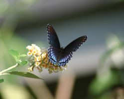 Butterfly Blue 09-05 by ShareLife