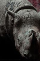 Black Rhino by dranrebesor